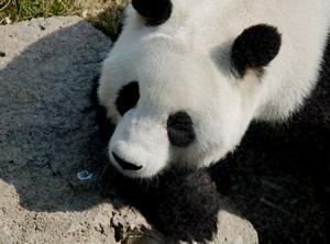 panda chine