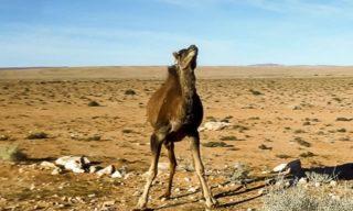 Dromadaire Algérie
