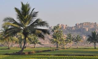 palmiers dans rizière inde
