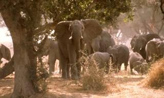 Eléphants Cameroun