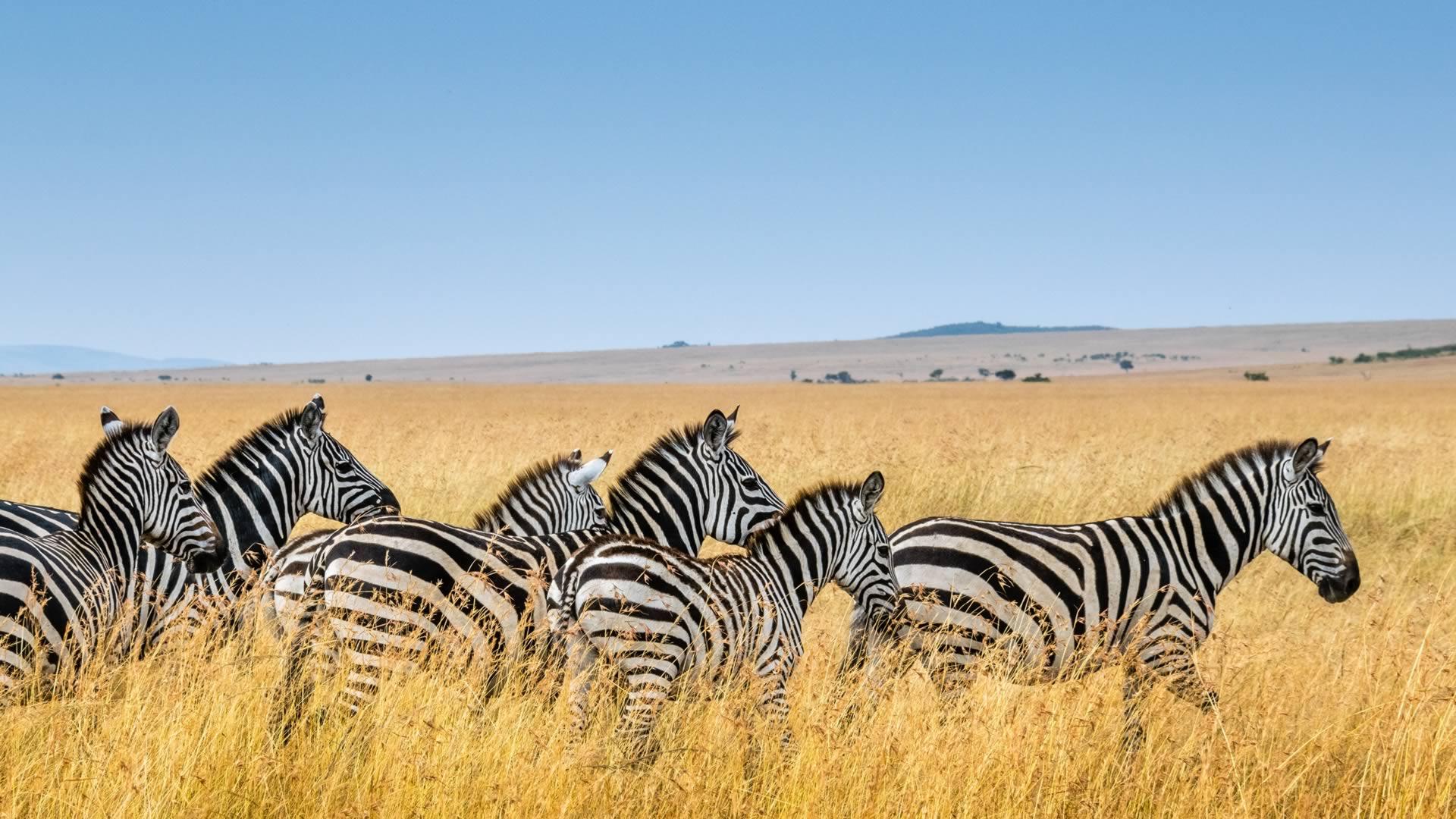 Zèbres Afrique